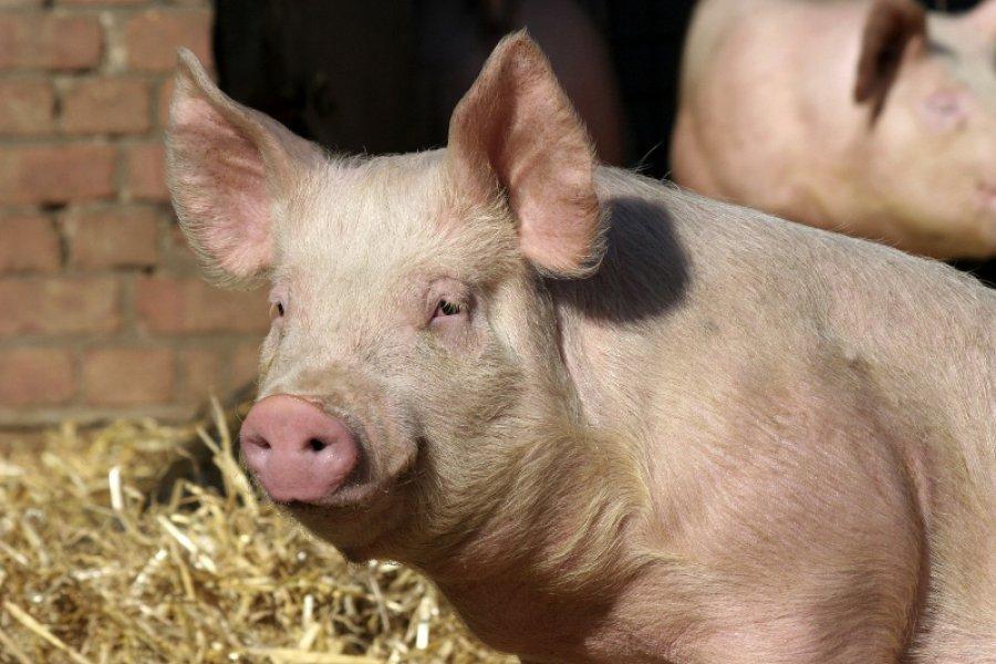 Брянщину включили вТОП-20 регионов попроизводству свинины