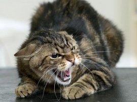 В брянском селе бешеная кошка покусала хозяйку