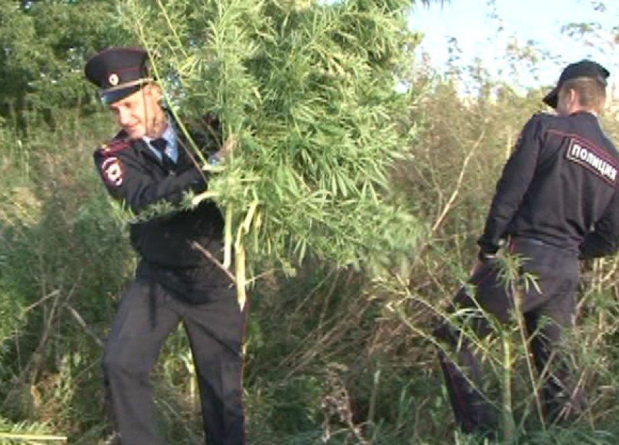 Брянские полицейские «обезвредили» 200 кустов конопли