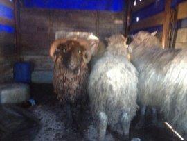На Брянщине арестованы четыре овцы