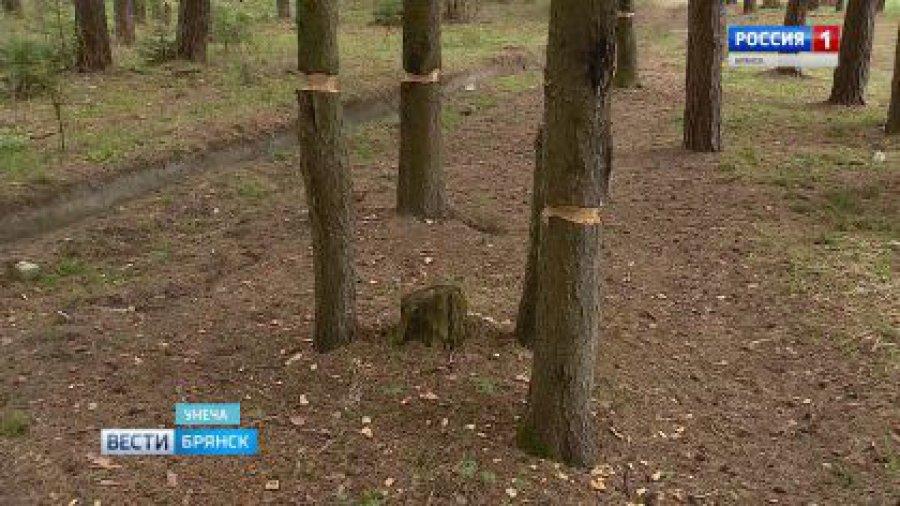 НаБрянщине психически больной гражданин  изуродовал тесаком  300 деревьев
