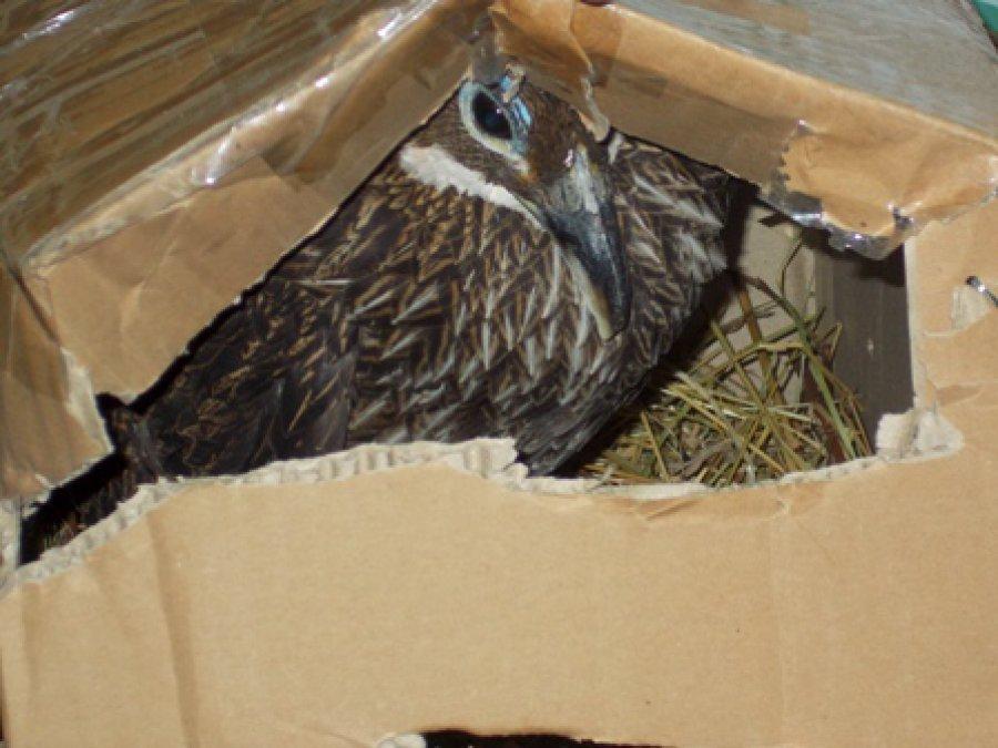НаБрянщине задержали 2-х фазанов-нелегалов из Украинского государства