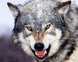 Брянскую область атакуют бешеные волки