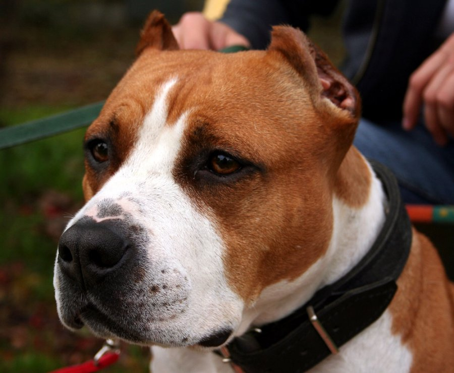Брянец натравил на молодого человека бойцовскую собаку ипошел под суд