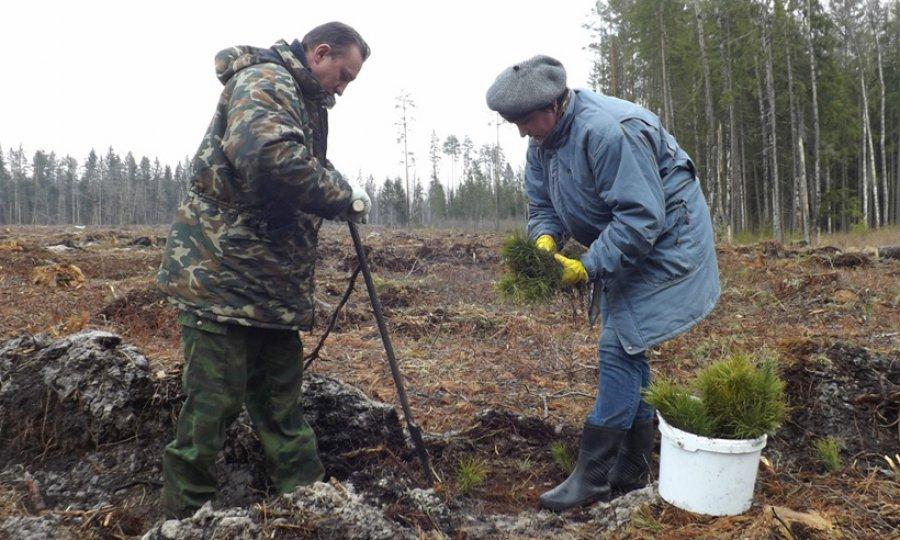 На Брянщине с начала года посадили более 10 миллионов деревьев Брянск
