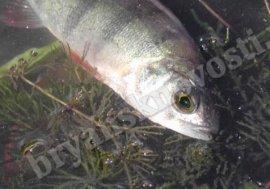 Брянские СМИ сообщили о массовой гибели рыбы в озере Зыбком