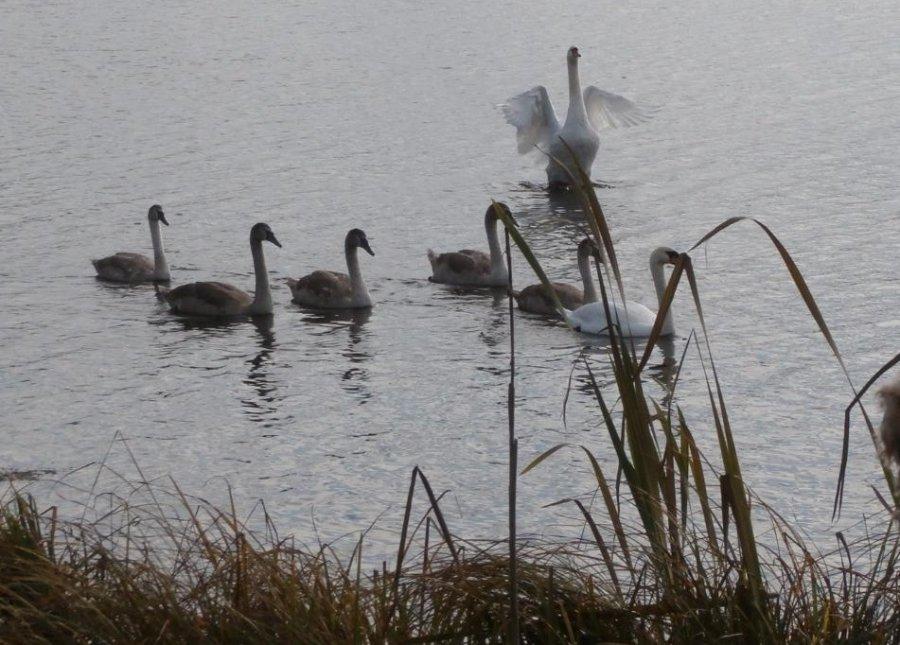 На брянском озере на зимовку остались 7 лебедей