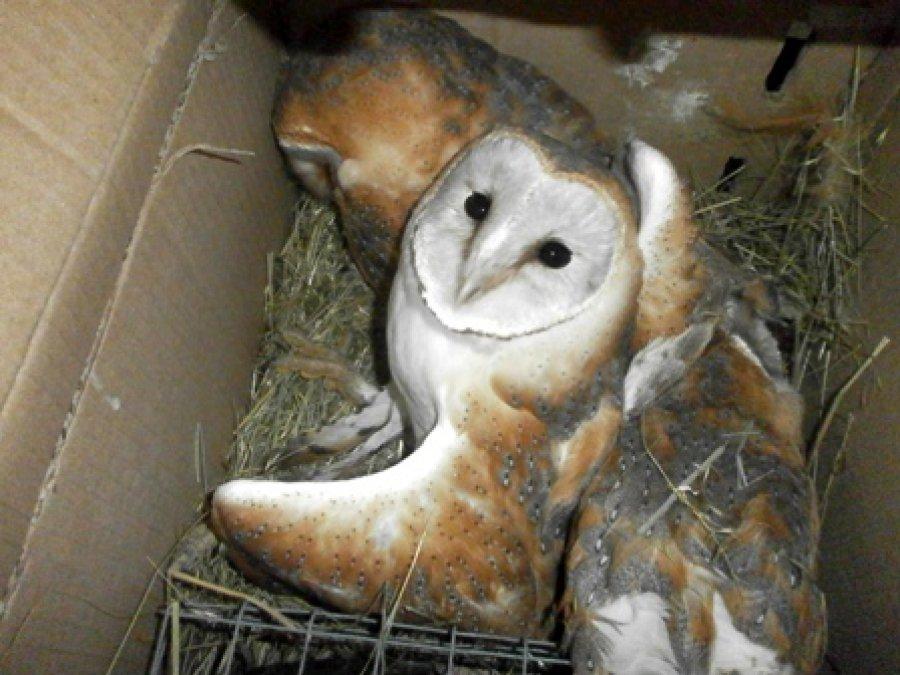 Молдаванин незаконно ввозил вБрянскую область живых сов