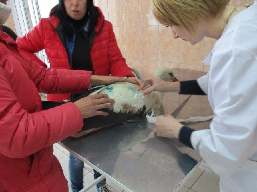 Ветеринары прооперировали спасенного жительницей Суражского района аиста