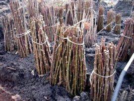 На Брянщину не пустили 77 тысяч саженцев итальянского винограда