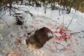 """Брянец убил беременную самку оленя и хотел продать """"экологическое"""" мясо"""