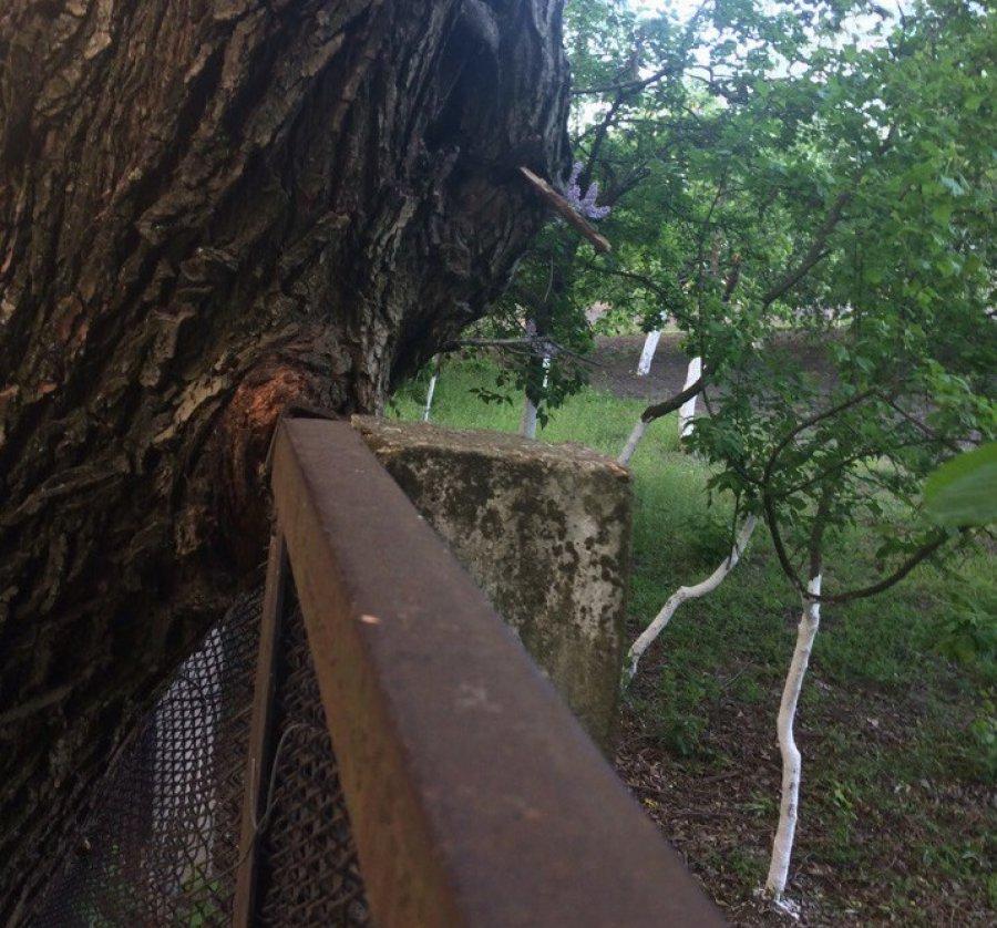 В Брянске огромное дерево грозит рухнуть на гимназию №3