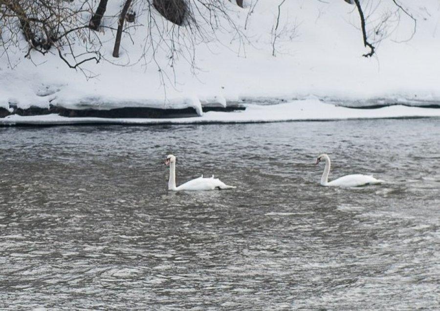 В Брянске заметили первых лебедей