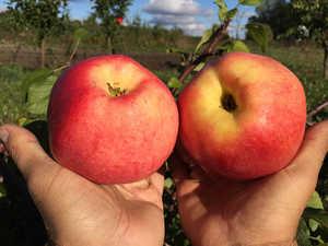 В Брянске выберут лучшее яблоко и испекут 10-метровый пирог