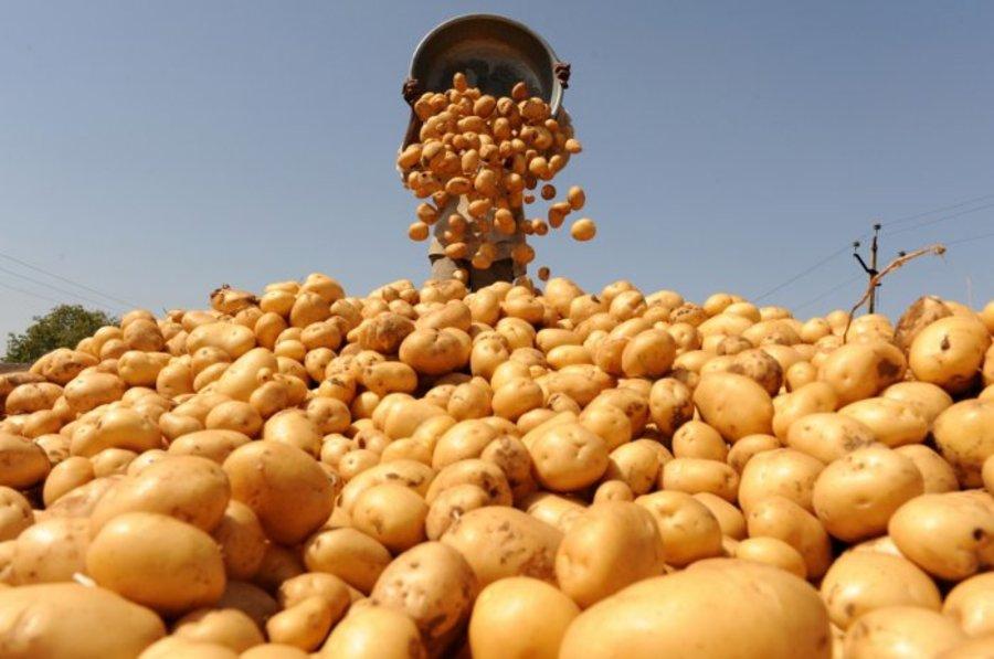 В Брянской области началась уборка раннего картофеля