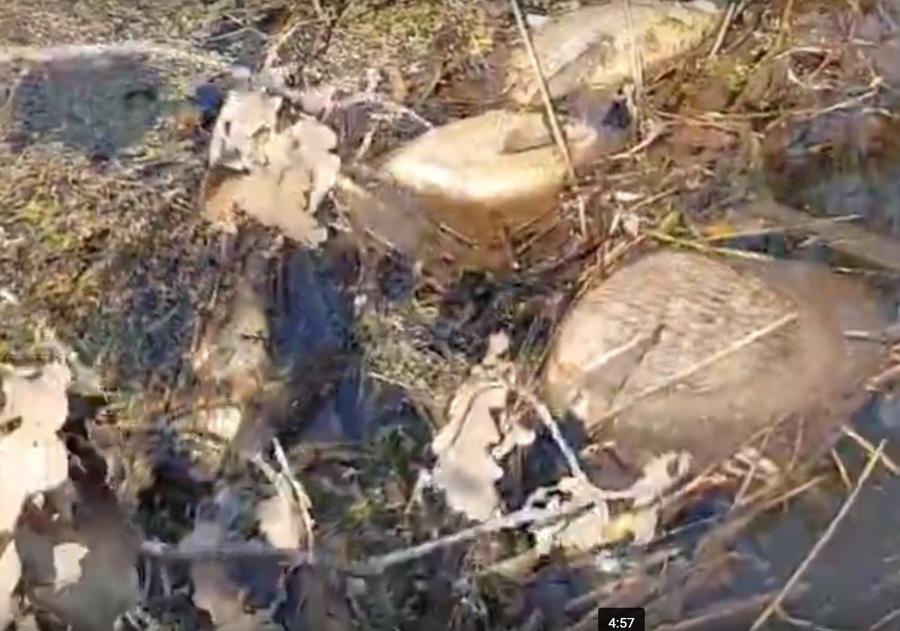 Брянцы сообщают о массовой гибели рыбы на реке Снежка