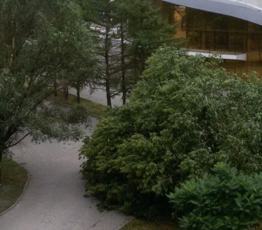 В Брянске возле цирка рухнуло дерево - коммунальщики бездействуют