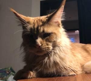 В Брянске ищут пропавшую огромную кошку породы мейнкун