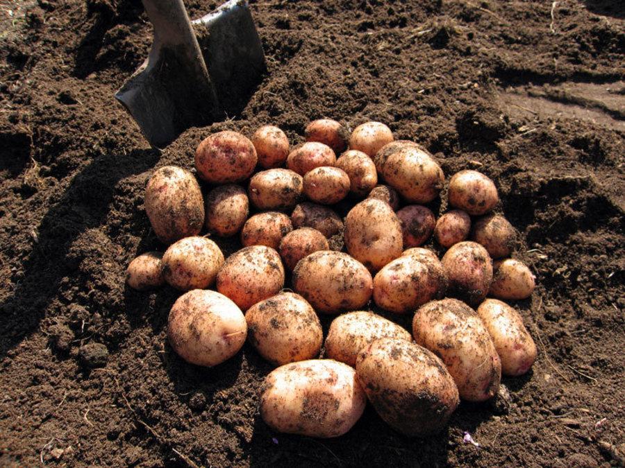 Хозяйства Брянской области завершают посадку картофеля