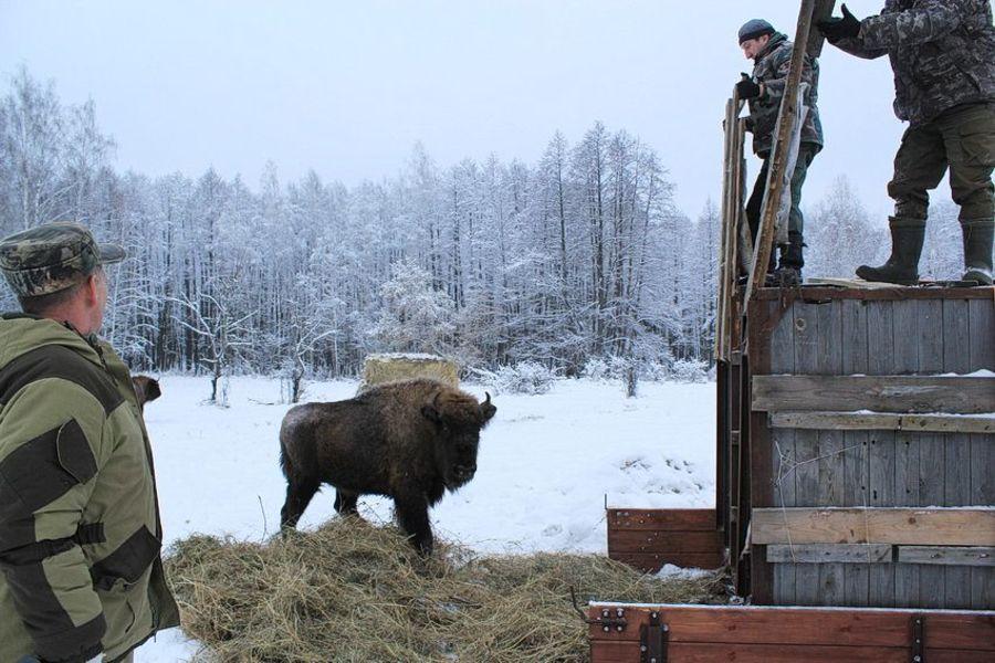В «Брянском лесу» поселились 6 зубров из московского питомника