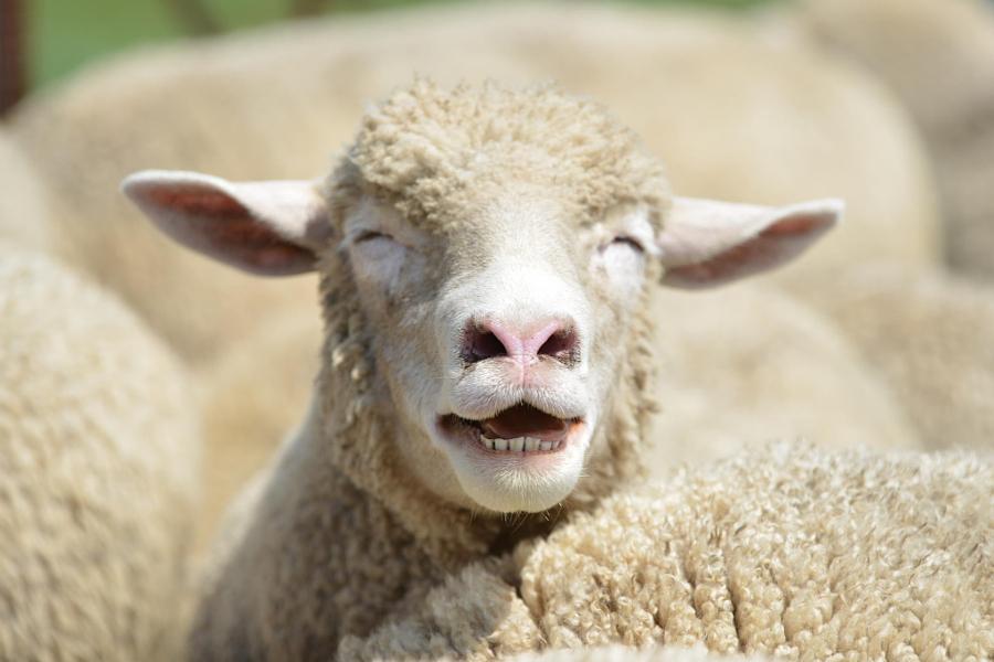 Прикольная картинка овца, золотом открытках