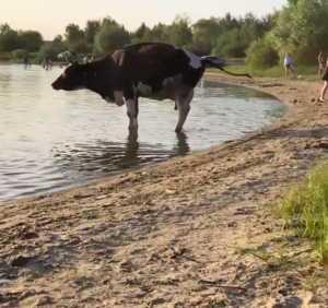 В Брянске коровы загадили пляж на озере Орлик-5
