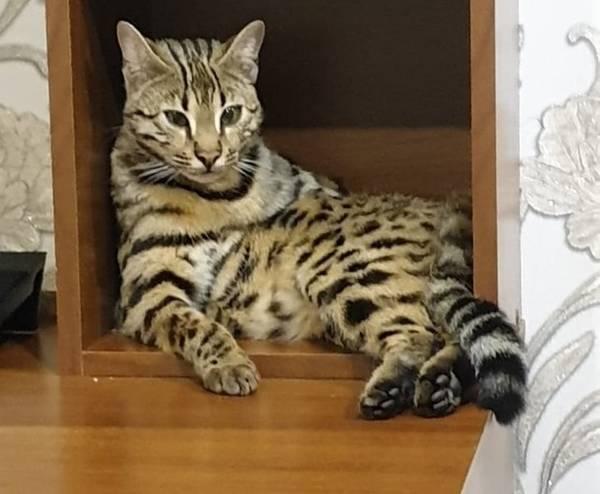 В Бежицком районе Брянска ищут пропавшую бенгальскую кошку Брянск