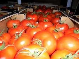 Из Брянска вернули в Турцию зараженные молью помидоры